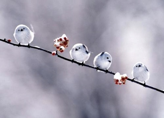Beautiful-Cute-Birds-Winter-White