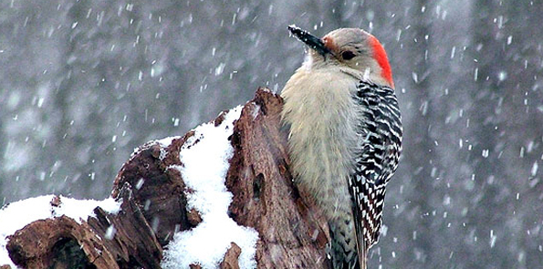 Beautiful-Woodpecker-Bird-in-Winter