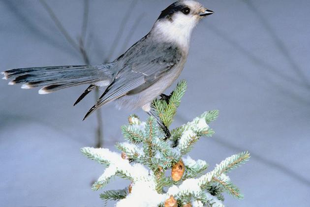 Bird-Winter-Snow